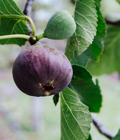 Yelland & Papps Barossa - Figs