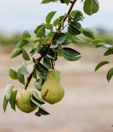 Yelland & Papps Barossa - Orchard Pears